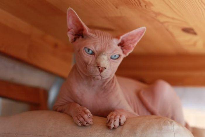 Gatos esfinge, las nuevas mascotas de moda