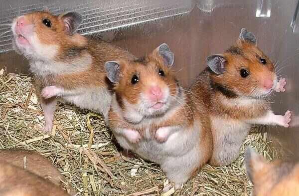 Cuidados para hamster común y hamster ruso
