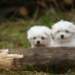 ¿Te gustan los perros? ¡Descubre los cachorros de bichón maltés!