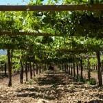 Areeiro aconsella renovar os tratamentos contra o mildio e o oídio ante a previsión de inestabilidade climática