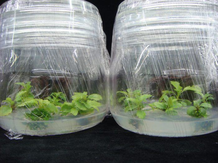 El CSIC desarrolla desde Galicia protocolos para  la propagación in vitro y conservación del aliso
