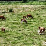 O DOG publica a aprobación da nova Indicación Xeográfica Protexida Vaca e Boi de Galicia