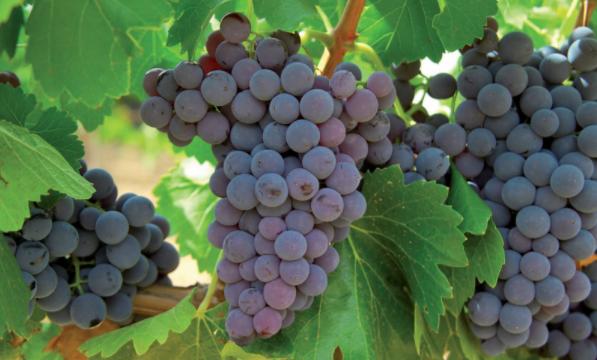 Areeiro sinala o moi bo estado xeral da uva mais advirte do incremento do risco por botritre