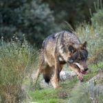 Medio Ambiente destinará case 300.000 euros este ano a axudas para paliar os danos ocasionados por ataques de lobo