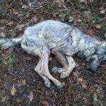 Morte a tiros dun lobo en Valiñas (Barro)
