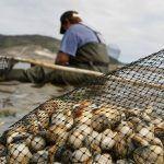 Científicos franceses investigan sobre a produción dos bancos de berberecho galegos no Centro de Investigacións Mariñas