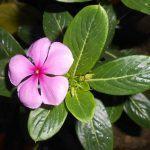 ¿Existen plantas que ayudan a combatir enfermedades?