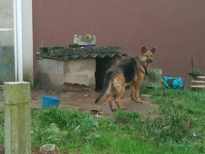 Denuncian la 'cadena perpetua' de perros en la Comarca do Morrazo