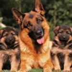 Perros Pastores alemanes: La mejor raza de perros