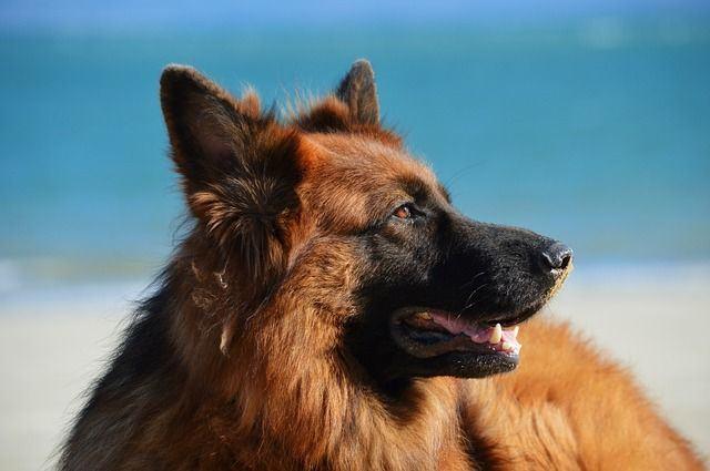 Pastor Alemán: una de las razas de perros más entrenadas