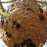 A Xunta reforza o equipo de intervención de Seaga encargado da encomenda da retirada de niños de vespa velutina
