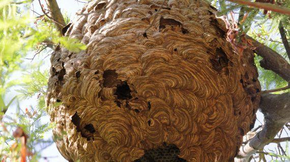 Que facer se atopas un niño de vespas velutinas?