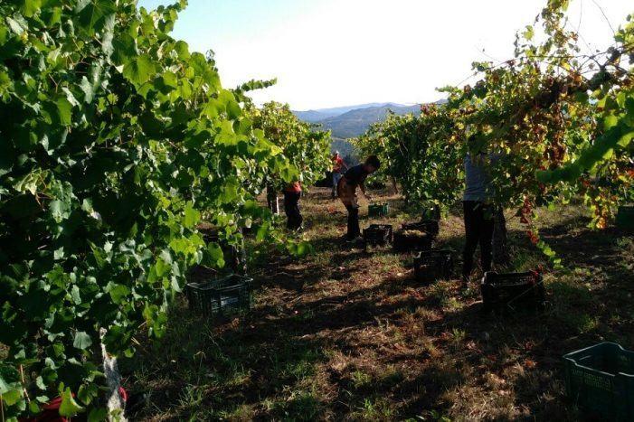 O Ministerio de Agricultura saca unhas axudas para vendima en verde que exclúen boa parte do sector vitícola galego