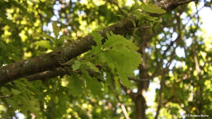 Os bosques autóctonos, non as plantacións forestais, aliados contra o cambio climático