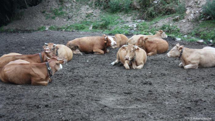 O SLG pide axudas urxentes para o sector da carne de vacún diante da caída crónica de prezos provocada pola Covid-19