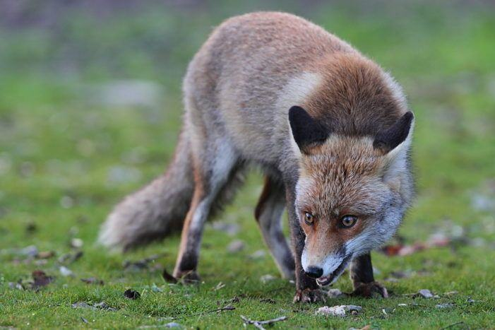 Sobre a proliferación de campionatos de caza de raposo