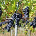A Indicación Xeográfica Protexida de viño de Barbanza e Iria incorporará a uva merenzao ás súas variedades