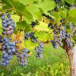 Medio Rural achega 4,25 millóns de euros para fomentar a transformación e elaboración dos produtos vitícolas