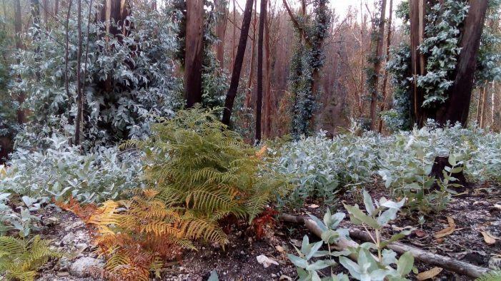 Deseucaliptización simultánea en Galiza con motivo do Día Mundial dos Bosques