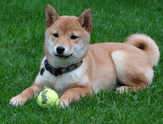 ¿Es el Shiba Inu un perro para ti?