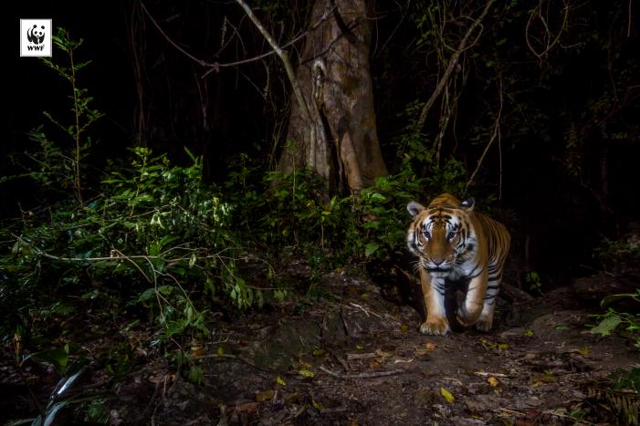 En el Día Mundial del Tigre, WWF reclama mayores esfuerzos para alejar a este animal de la extinción