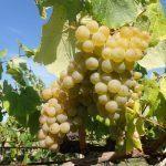 Areeiro destaca que o bo tempo acelerou a maduración da uva albariña