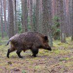 A Xunta de Galicia destina case tres millóns de euros a axudas para previr e paliar os danos provocados polo xabaril e lobo