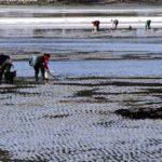 A Xunta convoca 20 novos permisos de explotación para marisqueo a pé na confraría de Pontevedra
