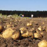 A Consellería do Medio Rural levanta a prohibición de plantar pataca en nove concellos galegos afectados pola couza