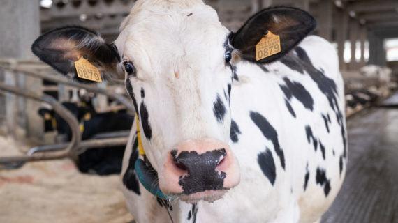 Medio Rural convoca 800.000 euros en axudas para indemnizacións por sacrificio obrigatorio de animais