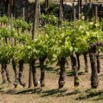 Un total de 122 adegas e particulares beneficiáronse no 2019 de máis de 1,5 millóns de euros en axudas da Xunta para reestruturar e reconverter as viñas galegas