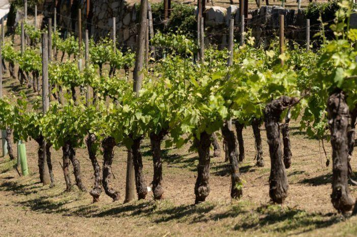 Cubiertos todos los cupos de destilación, almacenamiento y cosecha en verde para ayudar al sector del vino en la crisis de la COVID-19