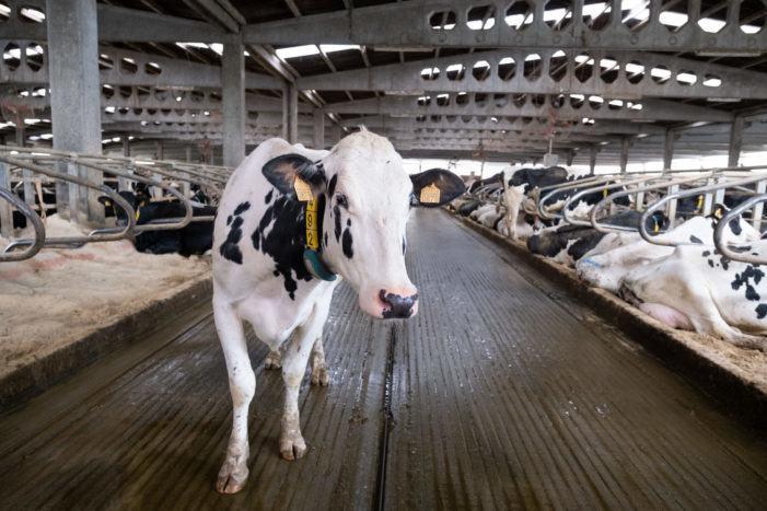 Ferido de consideración un operario ao ser golpeado por unha vaca nunha gandería en Guntín