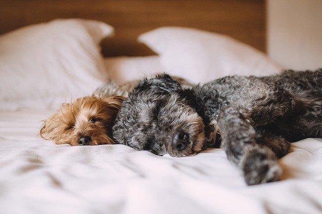 ¿Dónde deben dormir los perros? Sí lo hace en tu cama, esto te interesa