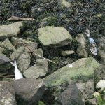 Mortaldade de peixes na Ría de Pontevedra. Quen é o responsábel?