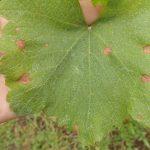 Areeiro constata un freo no avance do mildio, aínda que segue a aconsellar a máxima vixilancia das viñas