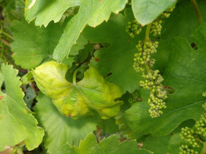 A EFA recomenda renovar os tratamentos contra o mildio nas viñas tras constatar o avance da enfermidade