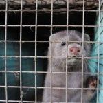 WWF vuelve a pedir el cierre inmediato de todas las granjas de visón americano en España  por el riesgo de coronavirus