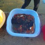 La vecindad de Navia salva a cientos de peces de sus estanques ante la dejadez del ayuntamiento de Vigo