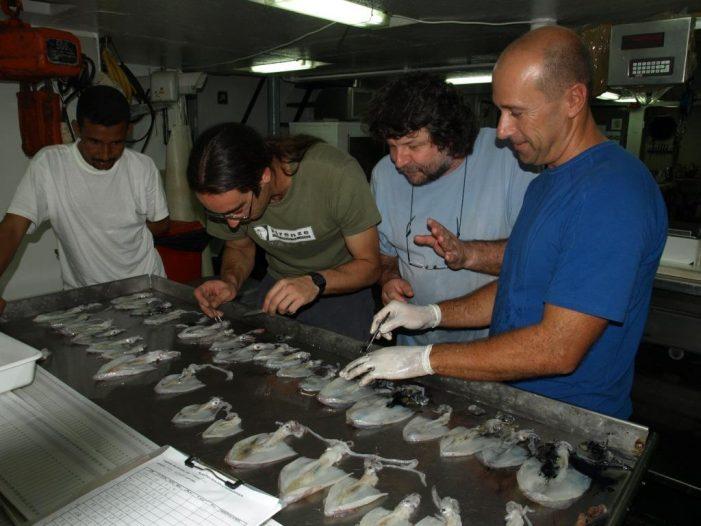 Investigadores do CIM-UVigo e do IEO publican o catálogo de cefalópodos que habitan a costa noroccidental africana