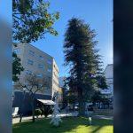 Os informes técnicos afirman a necesidade de talar a secuoia afectada da Alameda