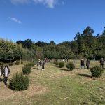 O bosque de Nadal de Tomeza xa conta cos primeiros 25 exemplares