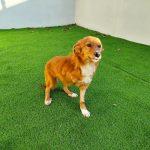 """Final feliz para """"MUTI"""", a cadela adoptada en Vigo trala súa recuperación no CAAN da Deputación"""
