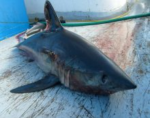 WWF celebra la prohibición de desembarcar y comercializar tiburón marrajo en la UE