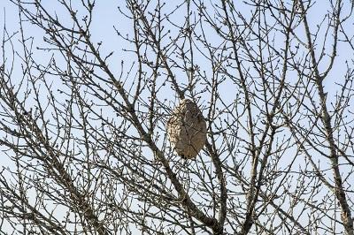 La Xunta lleva retirados más de 9.500 nidos de avispa velutina en lo que va de año